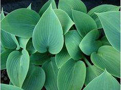 Hosta Tardiana halcyon - Le jardin de Taurignan, producteur de plantes vivaces