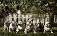 6 perfect #bulldogs :)