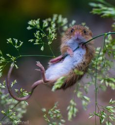 Nature Animals, Animals And Pets, Beautiful Creatures, Animals Beautiful, Cute Baby Animals, Funny Animals, Wild Hamsters, Harvest Mouse, Cute Rats