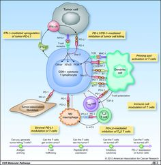 Tumour immunology and the PD-1 and PD-L1 pathway