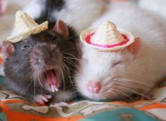 Hamsters With Hats :) Carl. (for all the lamas with hats fans! Hamsters, Rodents, Animals And Pets, Cute Animals, Party Animals, Sleepy, Fancy Rat, Cute Rats, Cute Mouse