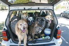 One jeep full of big bad dogs! #jeep #dogs #happy #carride #bigdog
