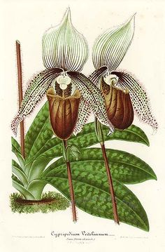 Lady's Slipper orchid L'Illustration Horticole was one of the finest botanical periodicals, and was first published in Belgium in 1854. It aimed educate people about the fascinating plants being gathered from around the world.