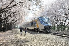 Cherry blossoms in their full glory - Jinhae Gunhang Cherry Blossom Festival