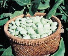 Bean Lima Early Thorogreen Bush DN126 (Green) 50 Heirloom Seeds by David's Garden Seeds David's Garden Seeds http://www.amazon.com/dp/B01CZ1V7XA/ref=cm_sw_r_pi_dp_bhE6wb0D2GJDG