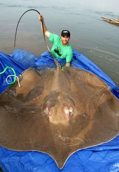 While Southeast Asia's half-ton giant freshwater stingray packs a 15-inch, poison-coated, serrated stinger, it's actually a gentle, inquisitive creature, an endangered titan that researchers are scrambling to understand before humans drive it to extinction.