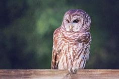 Barred Owl On Fence Print  by Sharon McConnell