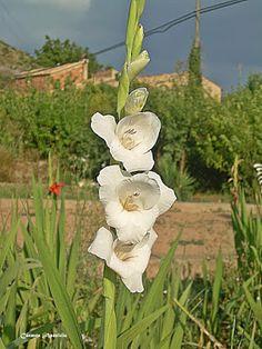 Mirando los detalles: En el lenguaje de las flores, el gladiolo