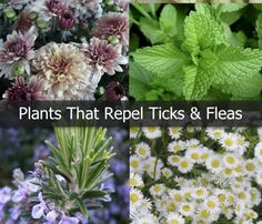 Need A Lot Of These In My Yard: Take preventative measures to ward off ticks and fleas by planting plants that naturally repel them. -- Wish I knew what they are. -- http://homeguides.sfgate.com/plants-repel-ticks-fleas-55250.html