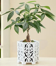 """1 Money Tree (Botanical name Pachira Aquatica) 4"""" Bamboo Pot Stands approximately 10-12"""" tall, will continue to grow Care instructions included $29.99"""