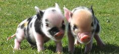 I would love a pair of micro pigs on my farm too!