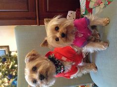 I'm gonna pin a pic of my yorkies they look just like these two