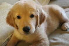 """Fantastic """"golden puppies""""xx detail is offered on our site. Mans Best Friend, Girls Best Friend, Dogs Golden Retriever, Golden Retrievers, Collie Puppies, I Like Dogs, Sleeping Dogs, Dog Quotes, Cute Animals"""