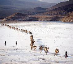 An Afar camel caravan crosses the salt flats of Lake Assal, Djibouti