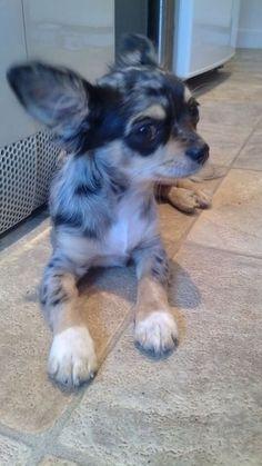 Rita, Blue Merle Chihuahua #chihuahua