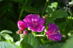 Lewisia | Vesan viherpiperryskuvat – puutarha kukkii