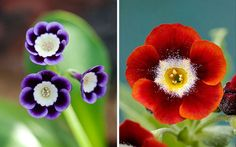 Their cultivation was a tradition among the weavers in Spitalfields, where Huguenots introduced Auriculas to  England