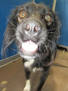 CAGE 38 JULY 30 This happy lady is an adult cocker spaniel mix. She has been here almost a month but she had puppies so only recently became available. She is energetic, friendly and ready to go. GREENVILLE ANIMAL CONTROL SHELTER 5800 Joe Ramsey Blvd. Greenville, TX 75402