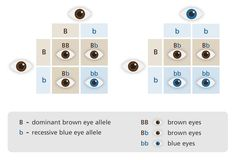Very cool punnett square diagram to explain the inheritance of eye colour! Depending on the genotype (B or b) we will have a certain eye colour phenotype. The brown eye allele 'B' is dominant, and the blue eye allele 'b' is recessive. Check out the combinations!