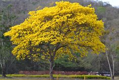 Araguaney. Árbol nacional de Venezuela