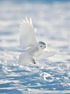 Snowy Owl Landing on Snow Photographic Print by Bernard Friel Beautiful Owl, Animals Beautiful, Cute Animals, Eagle Animals, Owl Photos, Owl Pictures, Owl Bird, Pet Birds, Bird Barn