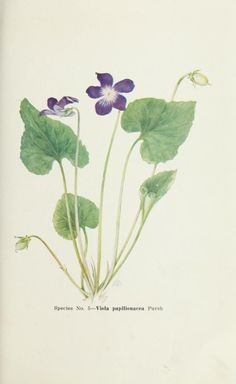 ... Violets of North America