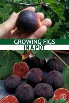 Growing Figs in a Pot Growing Figs in a Pot - You will see that this article offers a lot of informa Fruit Tree Garden, Dwarf Fruit Trees, Growing Fig Trees, Growing Plants, Magic Garden, Garden Drawing, Potted Trees, Organic Gardening Tips, Fruit And Veg