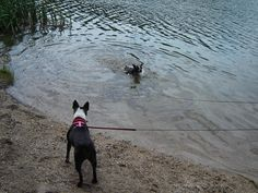 Rascal loved to swim, Sassy loved to watch