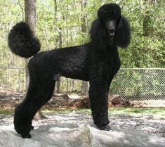 Everything About The Very Smart Poodle Dogs Size Poodle Grooming, Dog Grooming, Black Standard Poodle, Standard Poodles, Pet Shop, Poodle Cuts, Puppy Cut, Tea Cup Poodle, Little Dogs