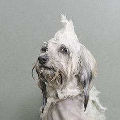 Showing What Dogs Look Like During the Grooming Process