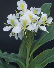 O lírio-do-brejo (Hedychium coronarium) é uma planta perene nativa da Ásia ... Sua flor é perfumada com cheiro parecido com outras espécies de jasmim.