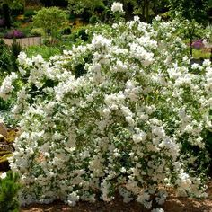 Seringat: planter et tailler – ComprendreChoisir