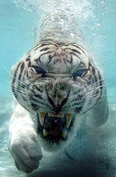 Felini/Tigre(Panthera Tigris) bianca(può essere: del Bengala- P. Tigris Tigris= con occhi azzurri; Siberiana- P. Tigris Altaica):