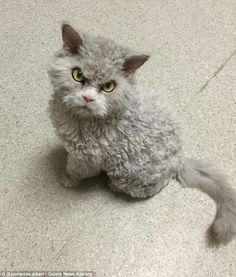 A Selkirk Rex cat. Looks like a distant cousin of Grumpy Cat. Cute Cats And Kittens, Cool Cats, Kittens Cutest, Curly Haired Cat, Curly Cat, Curly Girl, Grand Chat, Funny Animals, Cute Animals