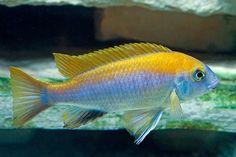 Name: Gephyrochromis moorii (Boulenger, Male Tropical Fish Aquarium, Freshwater Aquarium Fish, Fish Aquariums, Malawi Cichlids, African Cichlids, Cichlid Fish, Cool Fish Tanks, Fish Breeding, Pet Fish