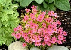 Coreopsis 'Pink Lemonade': Intense pink lemonade color with yellow foliage, blooms all summer