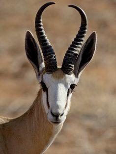 Springbok -- our national animal Felt Animals, Animals And Pets, Nature Animals, Wildlife Nature, Nature Nature, African Animals, African Safari, Beautiful Creatures, Animals Beautiful