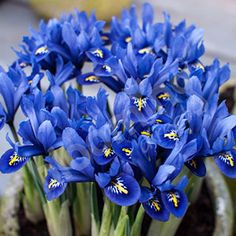huge Iris reticulata Blue (miniature) Size:5/7 pack of 40 bulbs at YouGarden