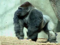 Absolutely Awesome Silverback Gorilla