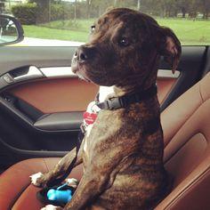 Boxer and pitbull mix