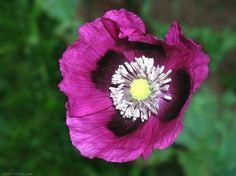 "Papaver Somniferum - ""Tasmanian Purple"" -extrem potenter Schlafmohn - 500 Seeds"