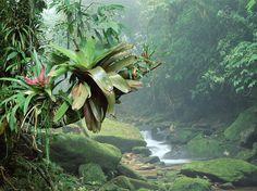 Bromeliads, Bocaina National Park, Atlantic Rainforest