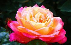 ...pink-yellow rose...