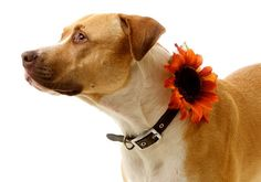 Russet Sunflower: Red and Mustard Floral Collar Corsage for Dogs-  Wedding, Easter, Adoption Event- teamcamelot -$10.00