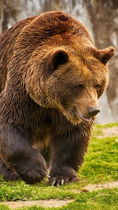 Grizzly Bear Animal, Bear Pictures, Bear Pics, Positive Images, Bear Art, Brown Bear, Animal Photography, Wildlife, Dogs