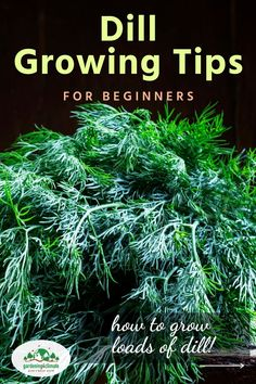 Growing dill herb can be tricky at times. With these tips you will have lots of dill herb to use for salad dressings or homemade pickles! Learn how to grow, harvest, use and preserve dill! Growing Herbs At Home, Growing Vegetables At Home, Growing Dill From Seed, Planting Dill, Organic Gardening, Gardening Tips, Hydrangea Seeds, Hydrangea Garden, How To Grow Dill