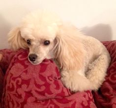 Aslyn resting on the French couch…as a poodle should!!