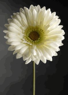White  Daisies Gerbera Silk (12 flowers) $7.08 / $.59 each  FOR THE MASON JARS?
