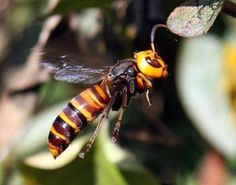 The Asian Giant Hornet is the size of your thumb, and stings with flesh dissolving acid that alerts other wasps to sting you until you die.