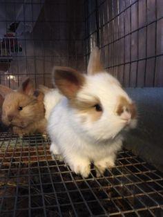 Evergreen Farm - BUNNIES FOR SALE, English Angora baby rabbit kits